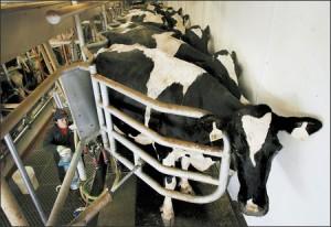 dairy-cows-milked